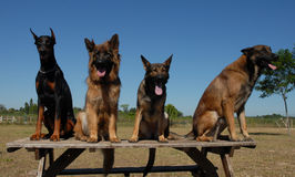 Four dogs. Three purebred dogs: doberman, and two german shepherd Royalty Free Stock Image
