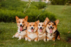 Four dogs breed Corgi in the Park. Four dogs breed Corgi sitting on grass in Park Royalty Free Stock Photography