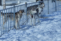 Four dogs chain around fence. Four dogs husky on chain around fence Royalty Free Stock Photos