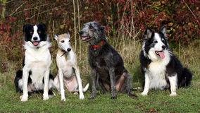 Four dogs (collies whippet lurcher) Stock Images