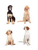 Four dogs of different races sitting Stock Photos