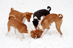 Four dogs digging in Snow. Four Hounds with curly tails digging while snow falls Royalty Free Stock Image