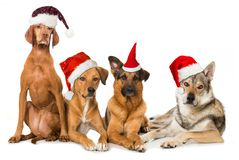 Four dogs with red santa hats stock images