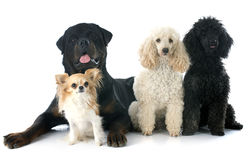 Four dogs Royalty Free Stock Photography