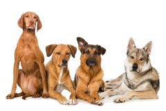 Four dogs on white background stock image