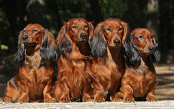 Four dogs sitting together Stock Image