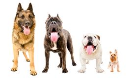 Four dogs standing together. Isolated on white background royalty free stock photo
