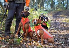 Four dogs waiting for a command. Four hunting dogs are waiting impatiently for a lord`s command Stock Photo