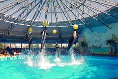 Four dolphins jumping behind the balls on the background of the auditorium royalty free stock photo