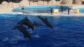 four dolphins jumping royalty free stock image