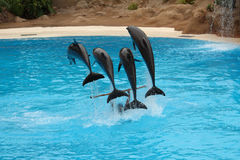 Four dolphins jumping over stick on water. Four dolphins jumping over stick while trainer holds it Stock Photography