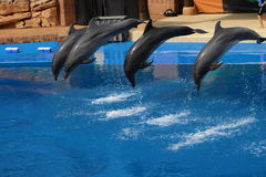 Four dolphins jumping in a pool royalty free stock photography