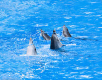 Four dolphins playing with hoops. Four nice performing dolphins playing with hoops in blue water Stock Image