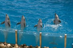 Four dolphins in the San Diego water circus royalty free stock photography