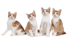 Four domestic kitten Royalty Free Stock Photo