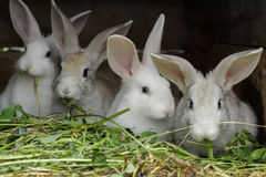 Four domesticated rabbits being raised in farm outdoor hutch Royalty Free Stock Image
