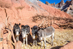 Four Donkeys Royalty Free Stock Image
