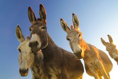 Four donkeys with funny faces Stock Photography