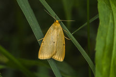 Four-dotted footman Cybosia mesomella Stock Images