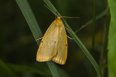 Four-dotted footman Cybosia mesomella Royalty Free Stock Images