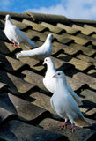 Four Doves on the roof Royalty Free Stock Photos