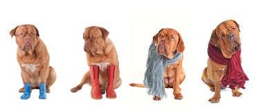 Four Dressed Dogs wearing scarfs and boots Stock Photo