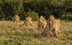Four dry corn ears stacks. Four dry yellow corn ears stacks on countryside meadow stock image