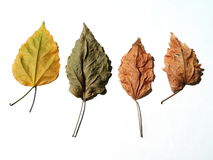 Four dry leaves. On white background Stock Photography
