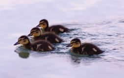 Four ducklings. On the lake Royalty Free Stock Photos