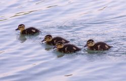Four ducklings. On the lake Stock Photos