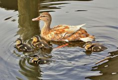 Mallard family out for a swim stock photo