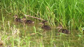 Four ducklings. Swimming in the row Royalty Free Stock Images