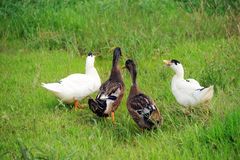 Four ducks Stock Photography