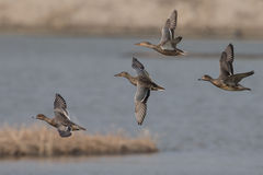 Four Ducks. Flying in sky Royalty Free Stock Image