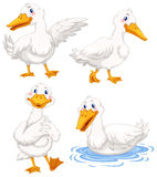 Four ducks in different poses Stock Images