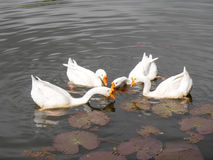 Four ducks feeding in a pond. The white ducks feeding in a pond Royalty Free Stock Photos
