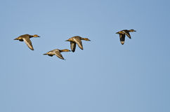 Four Ducks Flying in a Blue Sky Royalty Free Stock Photography