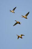 Four Ducks Flying in a Blue Sky Stock Image