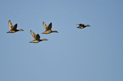 Four Ducks Flying in a Blue Sky Royalty Free Stock Photo