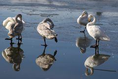 Four ducks on the ice. Royalty Free Stock Image