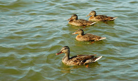Four ducks in the lake Royalty Free Stock Image