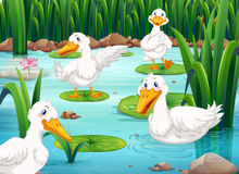 Four ducks living in the pond Royalty Free Stock Image