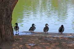 Four ducks Royalty Free Stock Photography