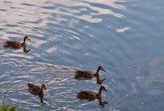 Four ducks on a river. Four mallard ducks swimming in the Allegheny River In Warren County, Pennsylvania, USA with room in the picture for added text Royalty Free Stock Photo