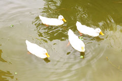 Four ducks. Swimming in the blue water in search of food Royalty Free Stock Images