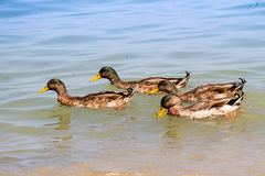Four ducks swimming in a group. Close up of four ducks swimming in a group stock images