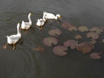 Four ducks swimming in a pond. The white ducks swimming in a pond Royalty Free Stock Photo