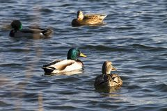 Four ducks on water surface Royalty Free Stock Photo