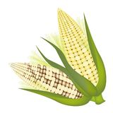 Four Ears of Corn with Husk and Silk Stock Image