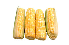 Four Ears of Corn Over White royalty free stock photos